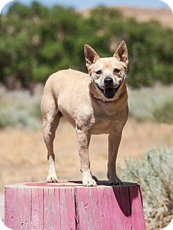 Chow Chow/Shiba Inu Mix Dog for adoption in Washoe Valley, Nevada - Cleo