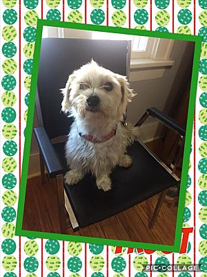 Enid, OK - Maltese  Meet Jack frost a Pet for Adoption