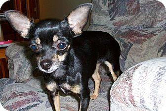 Chihuahua Dog for adoption in Shawnee Mission, Kansas - Jazzy Jazzarina