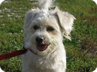 Indianapolis In Westie West Highland White Terrier Meet Eddie A
