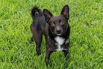Meet Max A Petstablished Schipperke Dog In San Jose