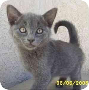 Domestic Shorthair Kitten for adoption in Victorville, California - Sam