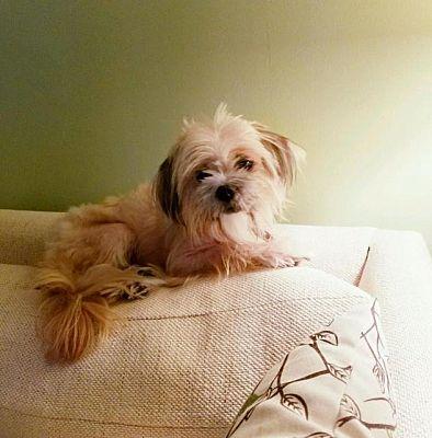 Pittsburgh Pa Shih Tzu Meet Lamei A Pet For Adoption