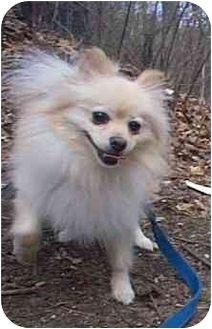 Pomeranian Dog for adoption in Naugatuck, Connecticut - Cybill