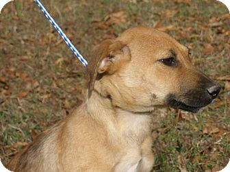 German Shepherd Dog Mix Puppy for adoption in Minnetonka, Minnesota - Jack