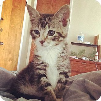 Domestic Shorthair Kitten for adoption in Monroe, North Carolina - Brewster