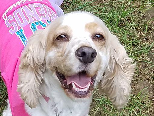 Mentor Oh Cocker Spaniel Meet Bella 4yr Adopted A Pet For Adoption