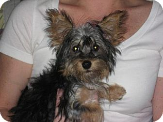 Harrisburg Pa Yorkie Yorkshire Terrier Meet Eleanor A Pet For