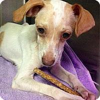 Adopt A Pet :: Marie - Brooksville, FL