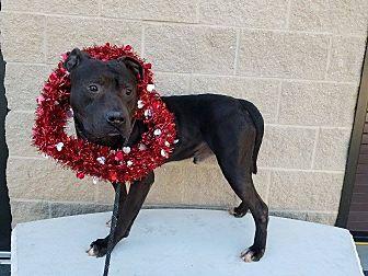 Adopt A Pet :: Glock  - Henderson, NC