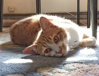 Adopt A Pet :: CASSIDY  - Northwood, NH