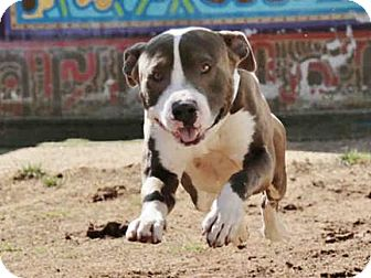 Litchfield park az pit bull terrier meet on euthanasia list adopted solutioingenieria Images