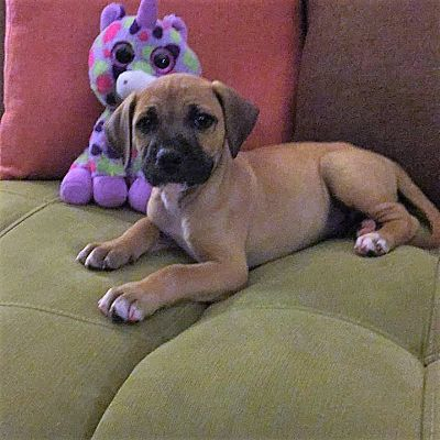 Minneapolis Mn Boxer Meet Hulk A Pet For Adoption