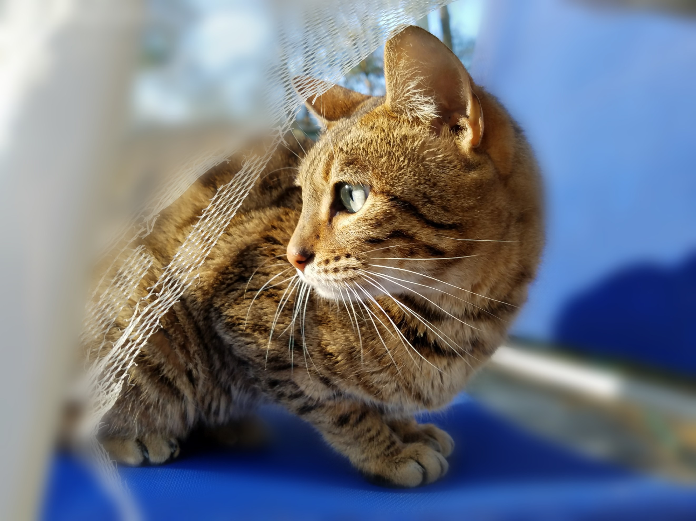 Russian Blue Teacup Savannah Cat