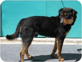 Gallup Nm Rottweiler Meet Sweetheart A Pet For Adoption