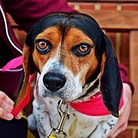 Beagle Mix Dog for adoption in Manassas, Virginia - Lacey