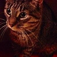 Domestic Shorthair Cat for adoption in Old Bridge, New Jersey - Briana