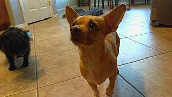 Adopt A Pet :: Baby Boy Sam  - Phoenix, AZ
