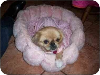 Pekingese Mix Dog for adoption in Richmond, Virginia - Lacy Adoption Pending