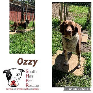 Adopt A Pet :: Ozzy  - South Park, PA