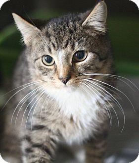 Domestic Shorthair Kitten for adoption in Astoria, New York - Martel