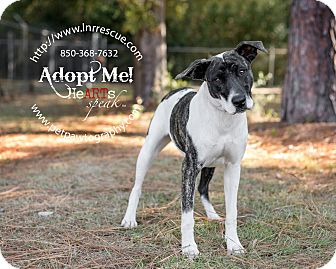Catahoula Leopard Dog Mix Dog for adoption in Navarre, Florida - Rose