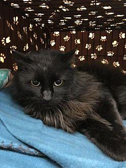 Adopt A Pet :: Midnight  - Blasdell, NY
