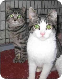 Domestic Shorthair Kitten for adoption in Randolph, New Jersey - Godfrey