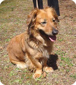 Pittsboro Durham Nc Golden Retriever Meet Gemma A Pet For Adoption