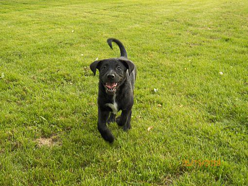 Boston, MA - Labrador Retriever  Meet Poppy King a Pet for
