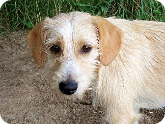 Salem, NH - Wirehaired Fox Terrier. Meet BETTY a Dog for Adoption.