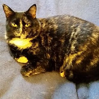 Domestic Shorthair/Domestic Shorthair Mix Cat for adoption in Menands, New York - Yvonne