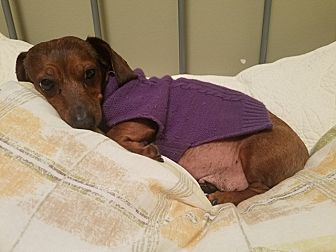 Adopt A Pet :: Coco  - Renton, WA