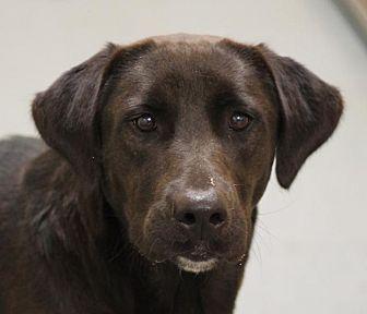 Labrador Retriever Dog for adoption in Ocala, Florida - NUTELLA / BAILEY
