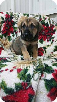 German Shepherd Dog Mix Puppy for adoption in Greenville, Kentucky - Pistol