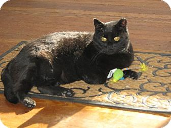 Bombay Cat for adoption in Marlton, New Jersey - Kitty