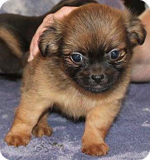 House Springs Mo Chihuahua Meet Teddy Bear A Pet For Adoption