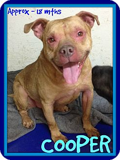 Pit Bull Terrier Mix Dog for adoption in White River Junction, Vermont - COOPER