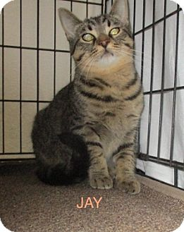 Domestic Shorthair Cat for adoption in detroit, Michigan - JAY & JASON