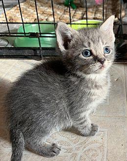 Adopt A Pet :: Harley  - Dumfries, VA