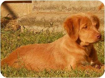 Conway Nh Golden Retriever Meet Aiden A Pet For Adoption