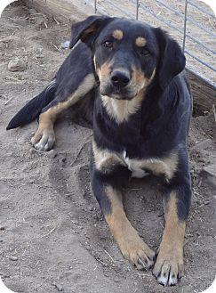 Goodland, KS - Australian Shepherd. Meet Lexi a Pet for ...Australian Shepherd Rottweiler Mix Information