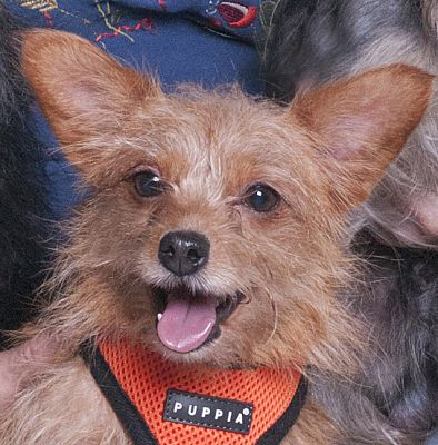Chicago Il Yorkie Yorkshire Terrier Meet Traveler A Pet For