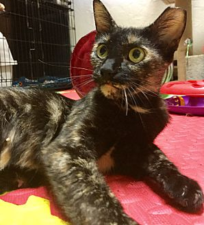 Adopt A Pet :: PHOEBE  - Northwood, NH