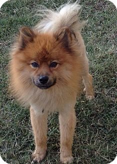 Kansas City Mo Chow Chow Meet Simba A Pet For Adoption