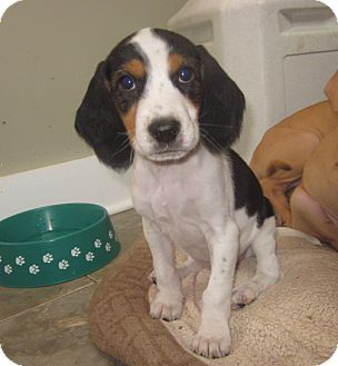 Beagle Mix Puppy for adoption in Hainesville, Illinois - Joy