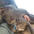 Adopt A Pet :: Lillian-APPLICATIONS CLOSED