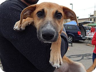 Black Mouth Cur/Plott Hound Mix Puppy for adoption in Fort Atkinson, Wisconsin - Maddie
