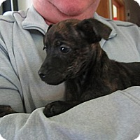 Bellingham Wa Dachshund Meet Kim S Puppies A Pet For Adoption