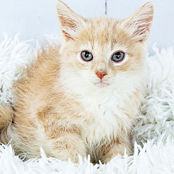 Maine Coon Kittens for Sale in Kentucky - Adoptapet com
